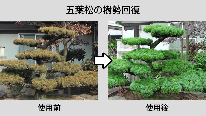 五葉松へのニワユタカの使用事例