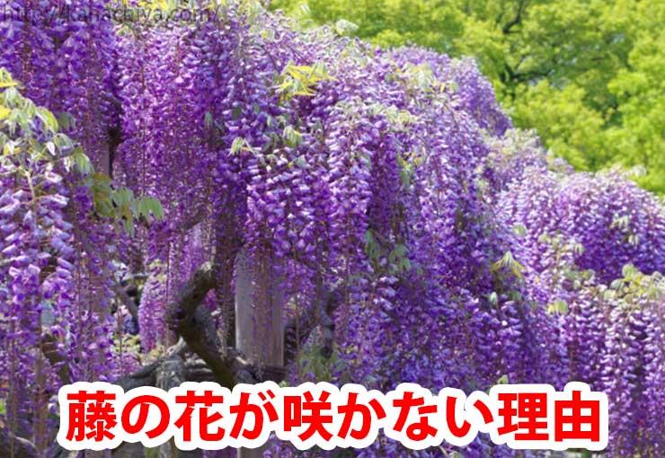 藤の花が咲かない理由
