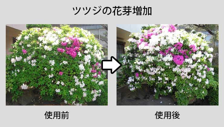 ツツジの花芽増加